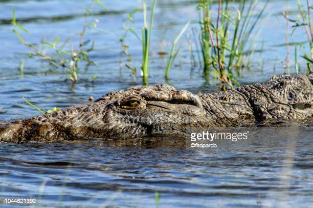 close-up of a nile crocodile swimming - reptile leather stock pictures, royalty-free photos & images