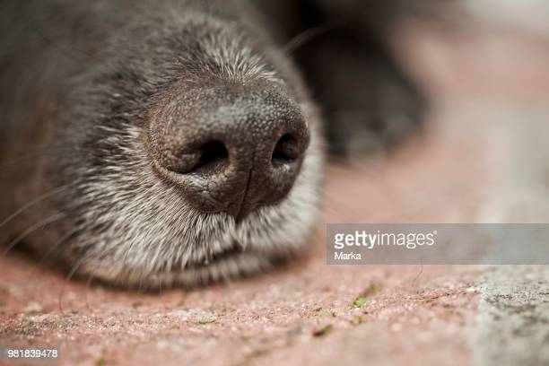 Closeup of A Nose of A Mongrel Dog