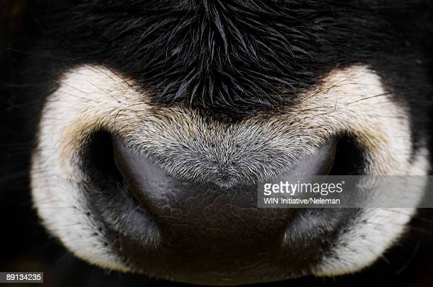 Close-up of a nose of an oxen, Russia