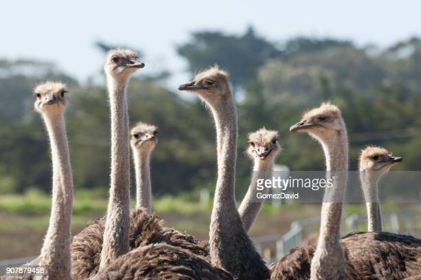 close-up of a ostrich flock - ostrich stock pictures, royalty-free photos & images