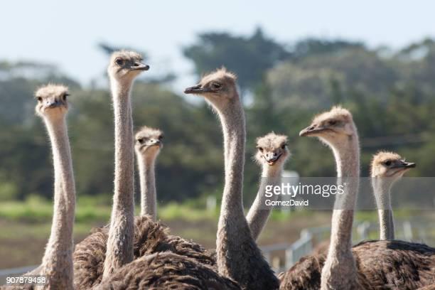 primer plano de un rebaño de avestruces - avestruz fotografías e imágenes de stock