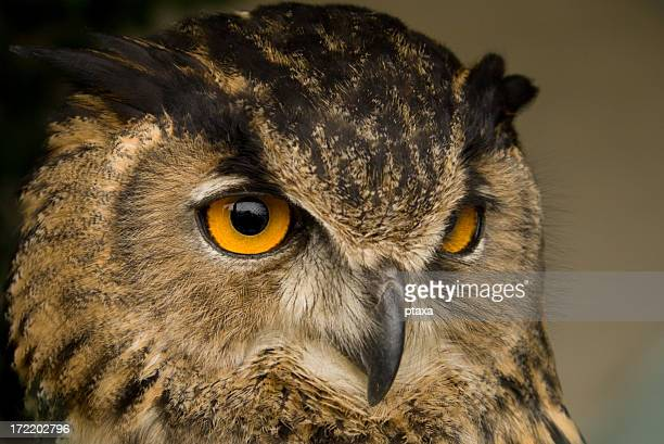 Closeup of a owl's face on brown background