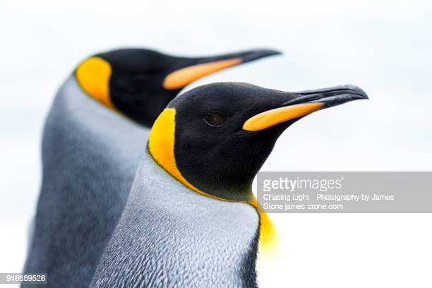 close-up of a pair of king penguins - pinguïn stockfoto's en -beelden