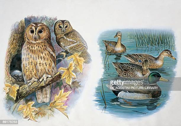 Closeup of a pair of tawny owls perching on a tree and ducks swimming in a pond