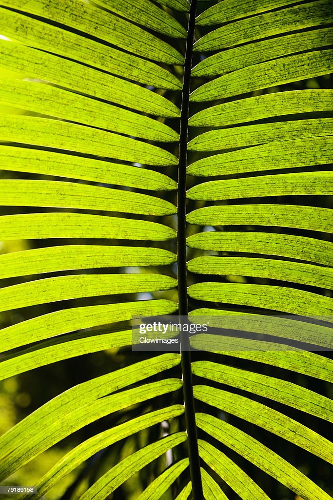 Close-up of a palm leaf in a botanical garden, Hawaii Tropical Botanical Garden, Hilo, Big Island, Hawaii Islands, USA : Foto de stock