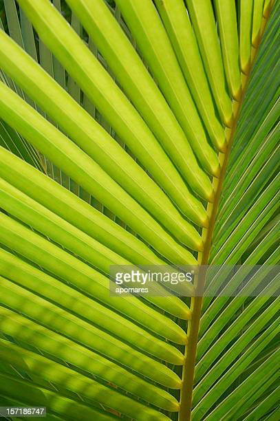 Closeup of a Palm leaf