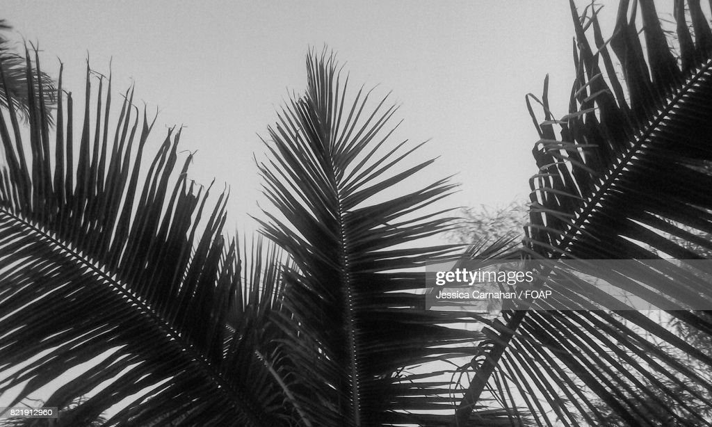 Close-up of a palm tree branch : Stock Photo