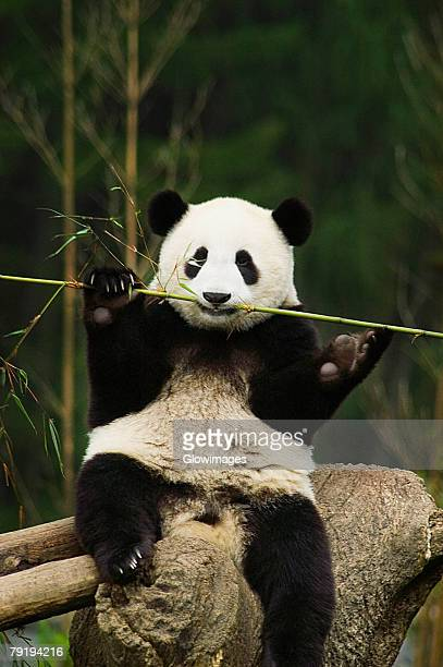Close-up of a panda (Alluropoda melanoleuca) chewing a stick