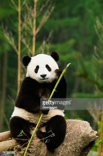 Close-up of a panda (Alluropoda melanoleuca) holding a stick