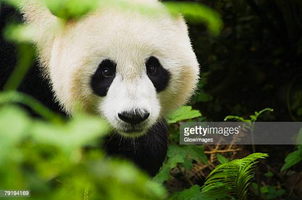 Close-up of a panda (Alluropoda melanoleuca)
