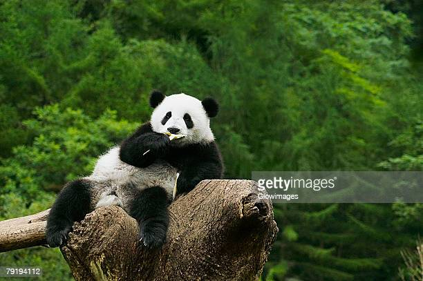 Close-up of a panda (Alluropoda melanoleuca) resting on a tree stump