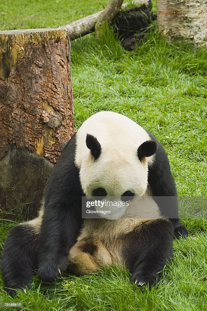 Close-up of a panda (Alluropoda melanoleuca) sitting in a field : Stock Photo