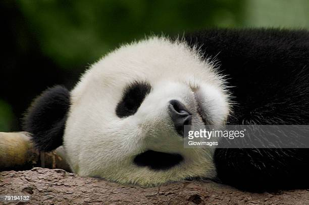Close-up of a panda (Alluropoda melanoleuca) sleeping