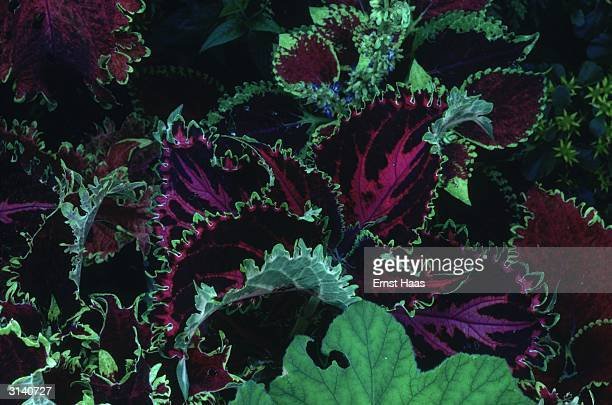A closeup of a patch of Coleus a variegated green and purple herb of the mint family in Rockport Maine Colour Photography book