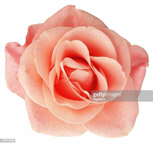 close-up of a peach rose