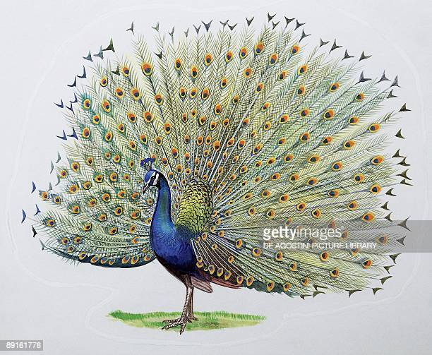 Closeup of a peacock dancing