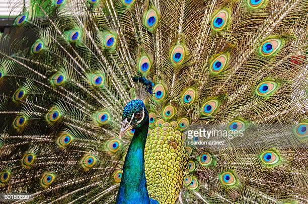 close-up of a peacock - pheasant tail feathers stock pictures, royalty-free photos & images