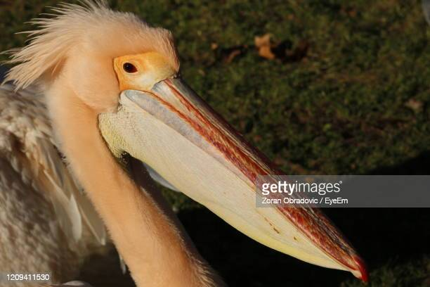 close-up of a pelican bird - long neck animals stock pictures, royalty-free photos & images