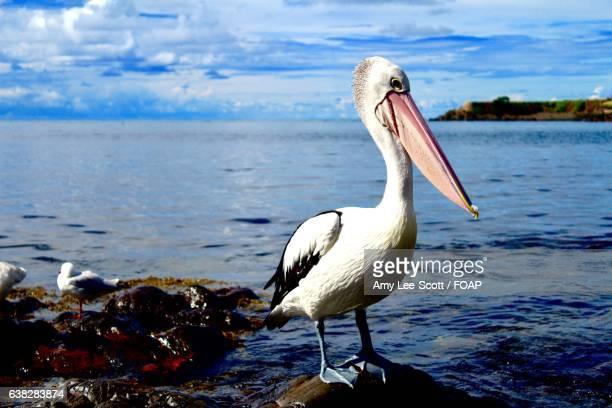 Close-up of a pelican bird