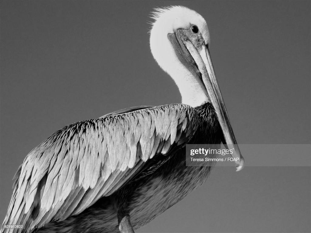 Close-up of a pelican : ストックフォト