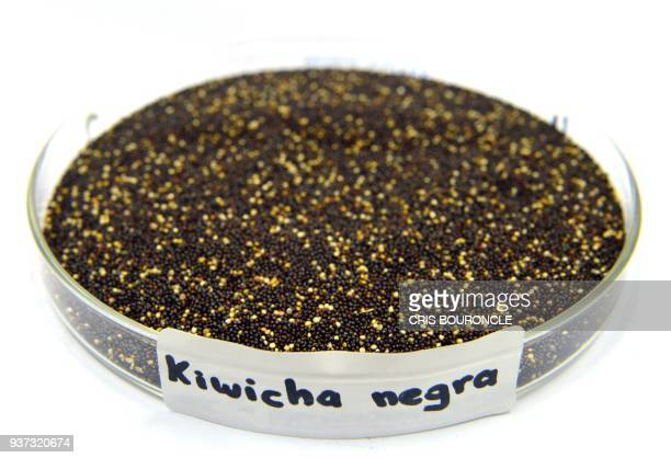 Closeup of a petry dish containing kiwicha negra a variety of Andean grain considered a superfood pictured at the food lab of La Molina National...