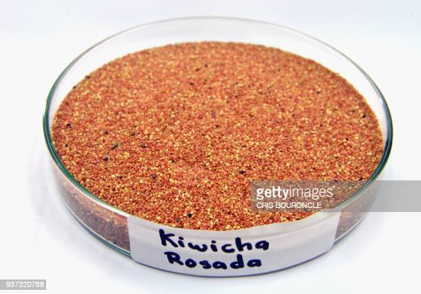 Closeup of a petry dish containing kiwicha rosada a variety of Andean grain considered a superfood pictured at the food lab of La Molina National...