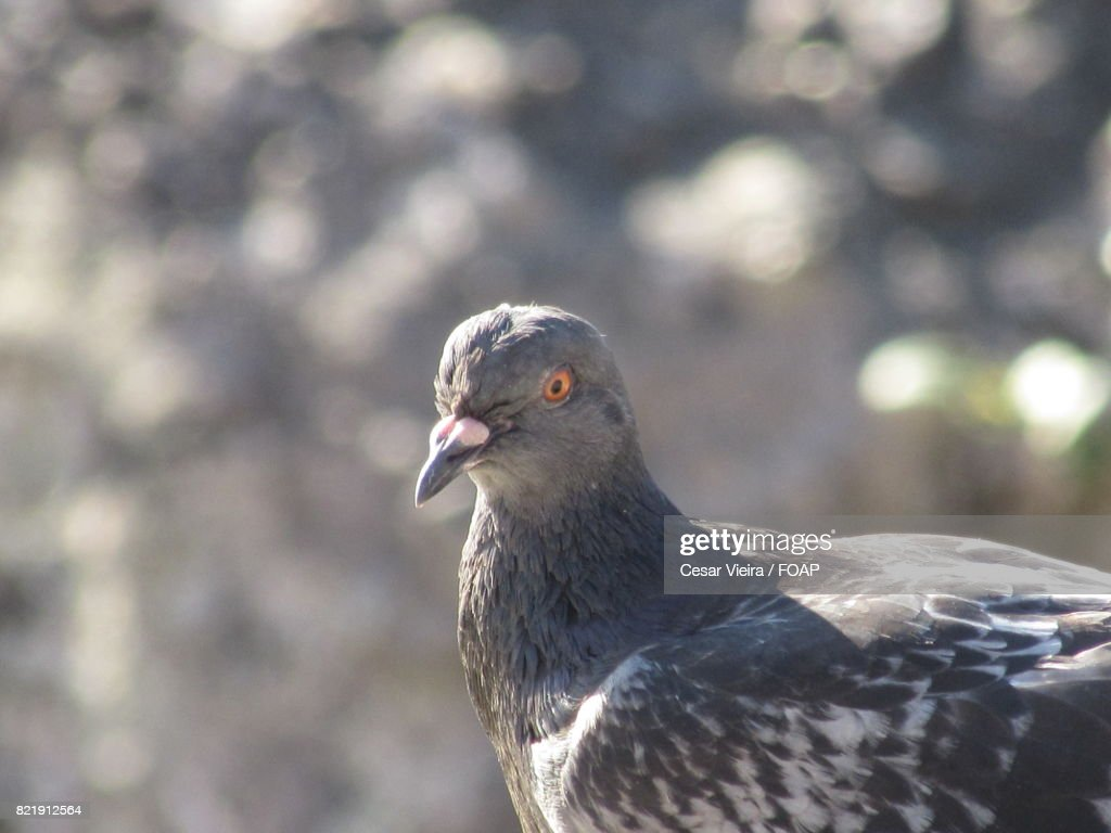 Close-up of a pigeon : Stock Photo