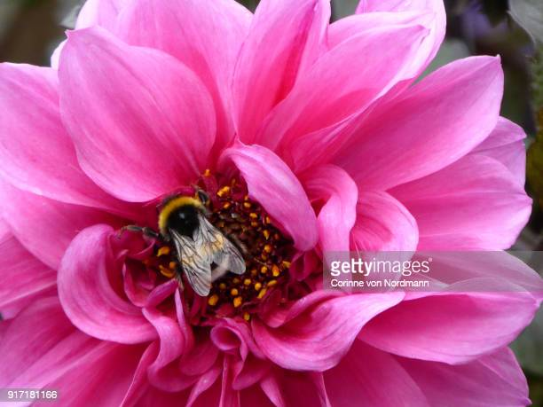 close-up of a pink dahlia with bumblebee - ショッキングピンク ストックフォトと画像