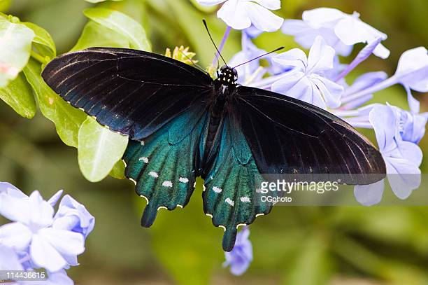 close-up of a pipe vine swallowtail butterfly - ogphoto stock pictures, royalty-free photos & images