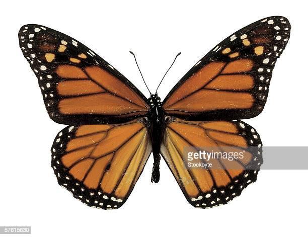 close-up of a plexippus danaus butterfly
