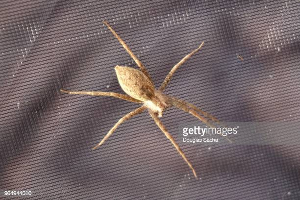 close-up of a poisonous brown recluse spider (loxosceles reclusa) - brown recluse spider stock pictures, royalty-free photos & images