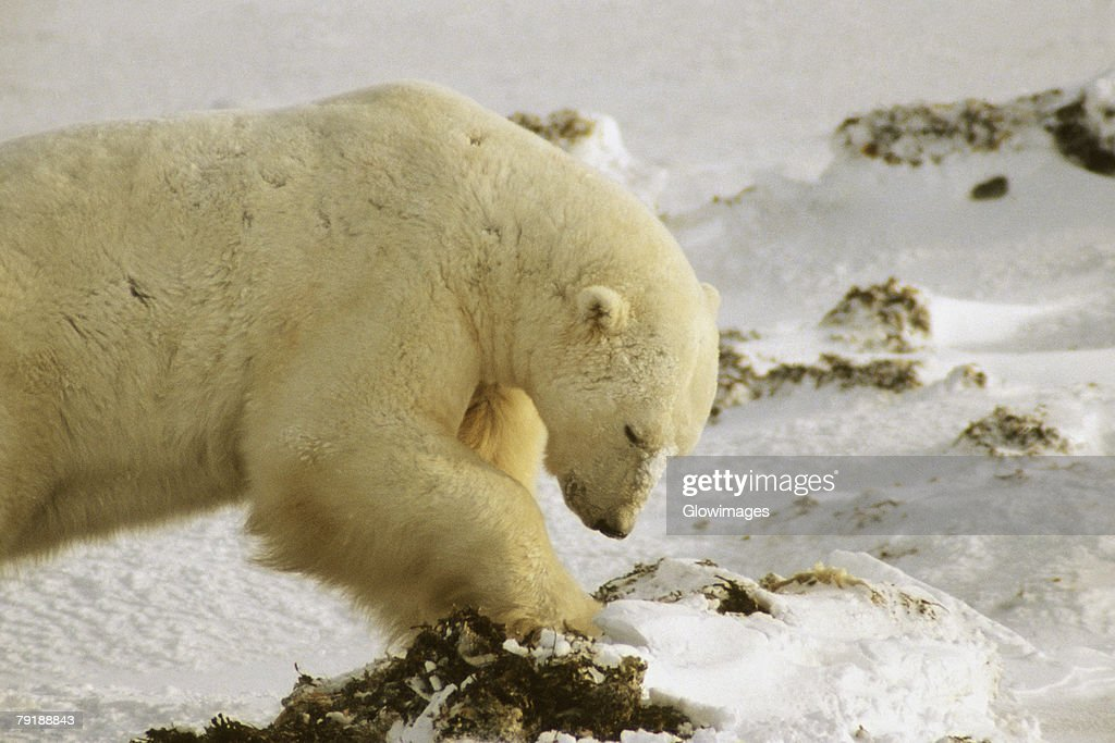 Close-up of a Polar bear (Ursus Maritimus) digging for seaweed : Stock Photo
