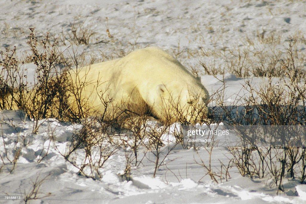 Close-up of a Polar bear (Ursus Maritimus) resting : Foto de stock