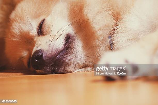 close-up of a pomeranian dog sleeping - japanese spitz stock pictures, royalty-free photos & images
