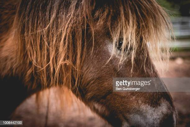 closeup of a pony - vertebrate stock pictures, royalty-free photos & images