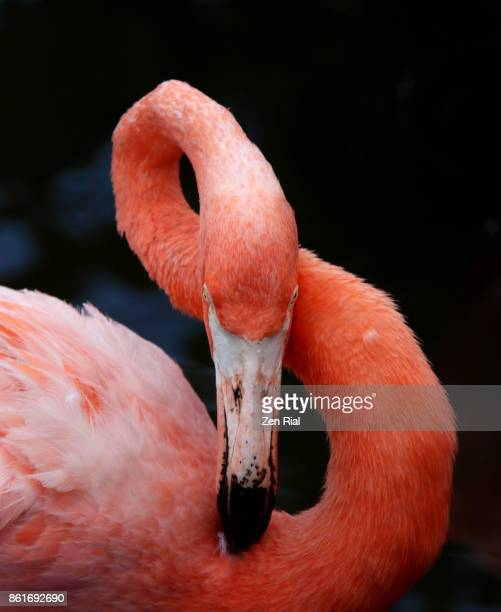 close-up of a preening pink flamingo showing it's flexible long neck make a figure 8 - long neck animals stock pictures, royalty-free photos & images