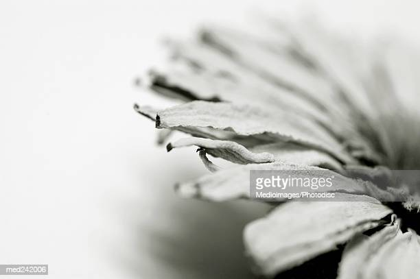 Close-up of a pressed flower