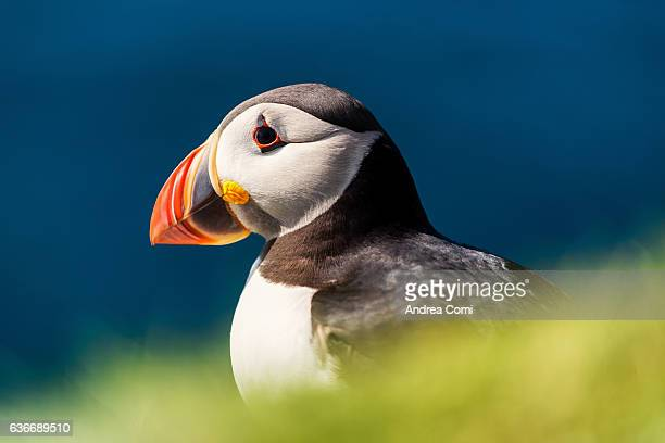 Close-up of a puffin