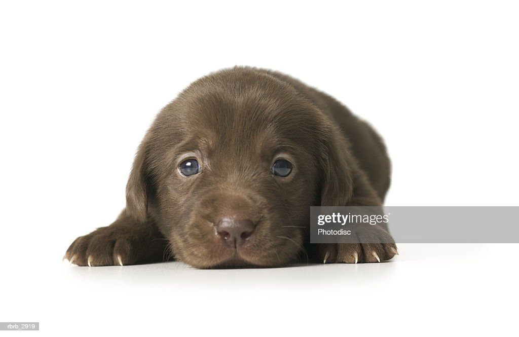 Close-up of a puppy lying down : Foto de stock