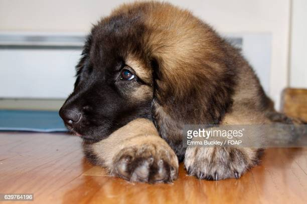 Close-up of a puppy lying on hardwood floor