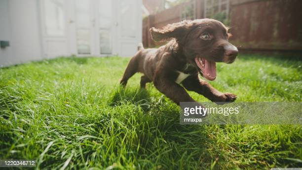 close-up of a puppy running in a garden, india - one animal stock pictures, royalty-free photos & images