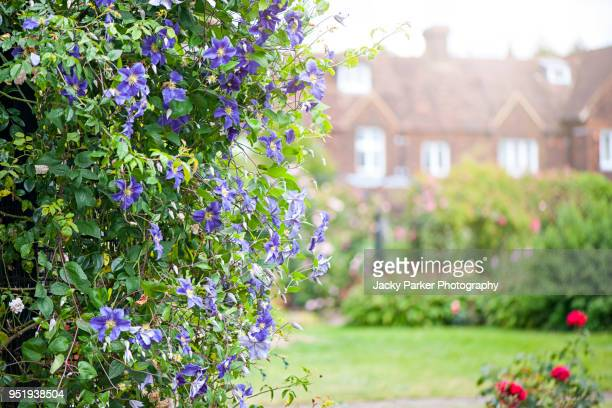 Close-up of a purple Clematis viticella growing over an arch in a summer garden