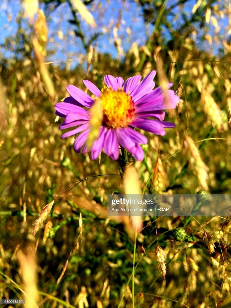Close-up of a purple flower : Stock Photo