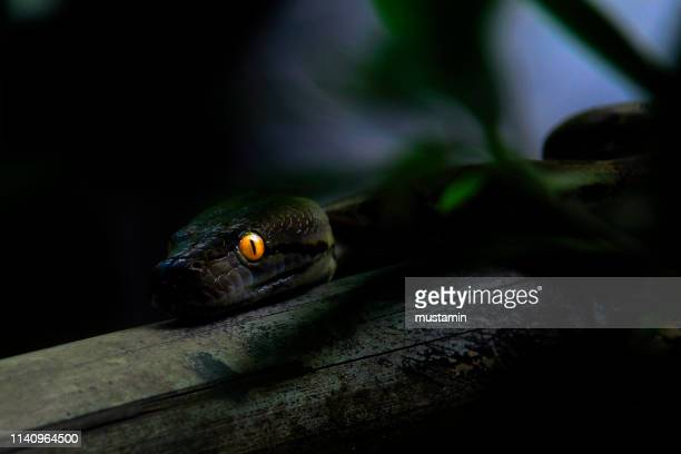 close-up of a python with glowing eyes at night, indonesia - serpent photos et images de collection