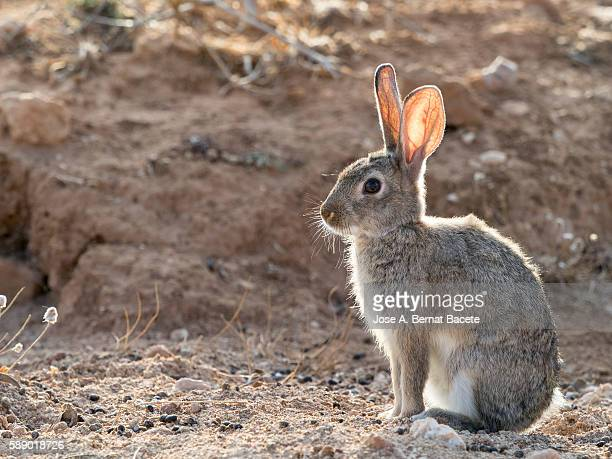 Close-up of a rabbit sitting in the sun Field, ( Species Oryctolagus cuniculus.)