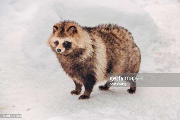 30 Top Raccoon Dog Pictures, Photos and Images - Getty Images