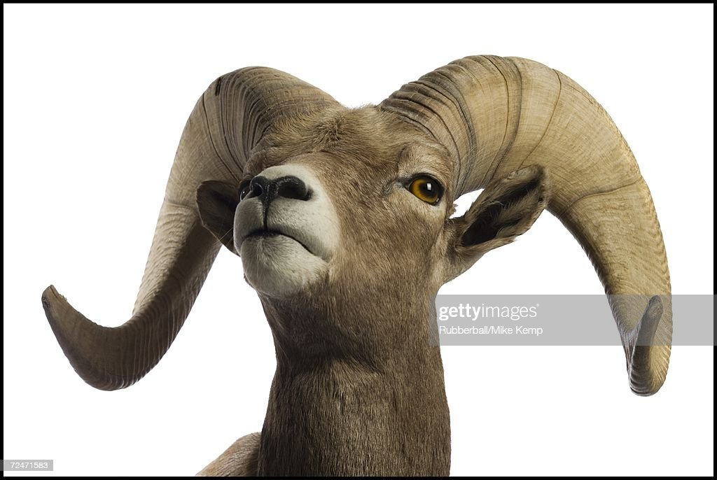 Close-up of a ram : Stock Photo