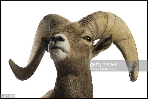 close-up of a ram - ram animal stock photos and pictures