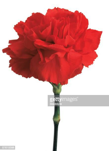 close-up of a red carnation