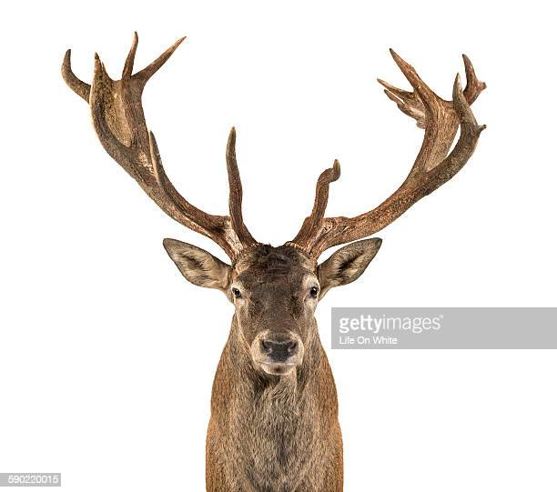 close-up of a red deer stag - bucks photos et images de collection